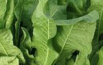 Компресс из листьев хрена на суставы колена