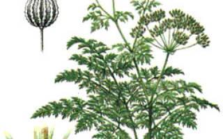 Трава болиголов невралгия остеохондроз лечит как пить