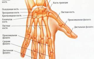 Суставы кисти руки человека анатомия
