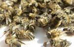 Лечение пчелиным подмором суставов настойка рецепт