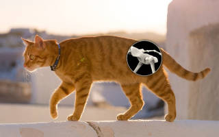 Дисплазия тазобедренного сустава у кошек